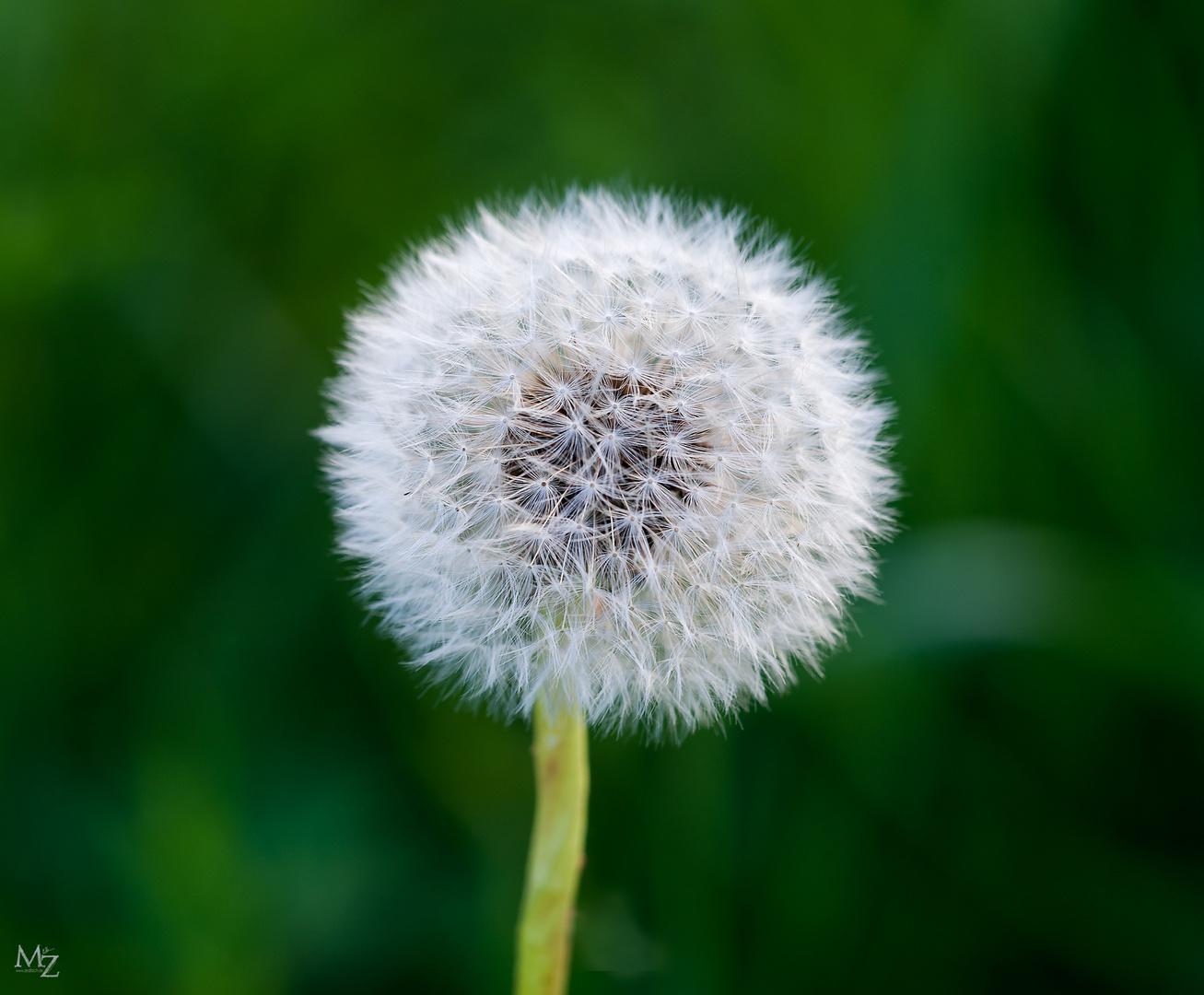 Eine einfache Pusteblume