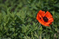 Eine einzelne Mohnblume