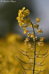 Eine einzelne Raps-Pflanze von vielen - Kein Makro -:)