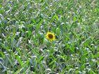 Eine einzige Sonnenblume behauptet ihren Platz im Maisfeld