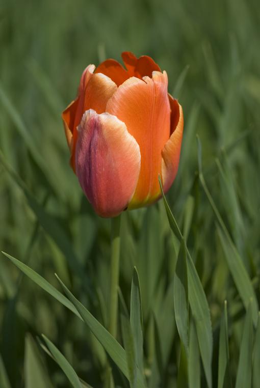 eine einzige Tulpe...........