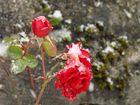 Eine eisige Königin der Blumen - Part 2