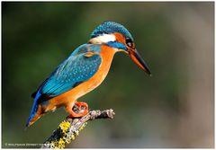 --- Eine Eisvogel Lady ---- ( Alcedo atthis )