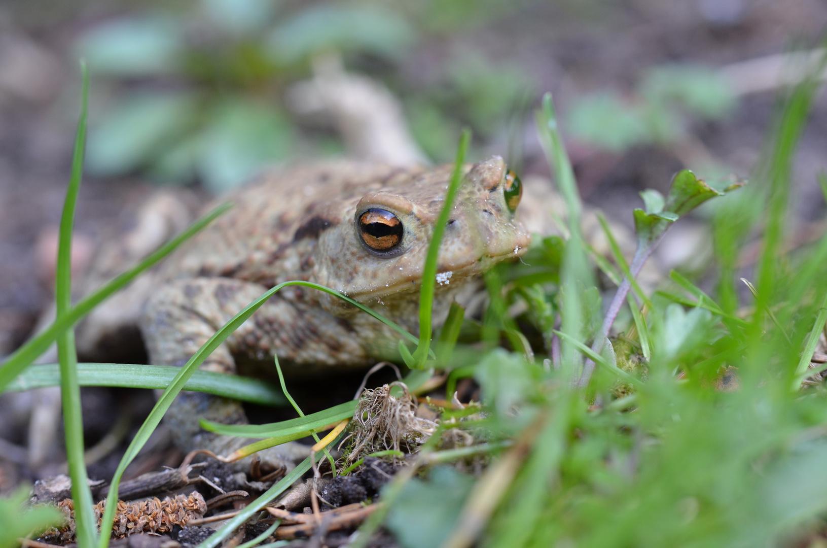eine Erdkröte im Garten