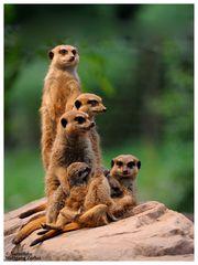 ---- Eine Erdmännchen Familie ----