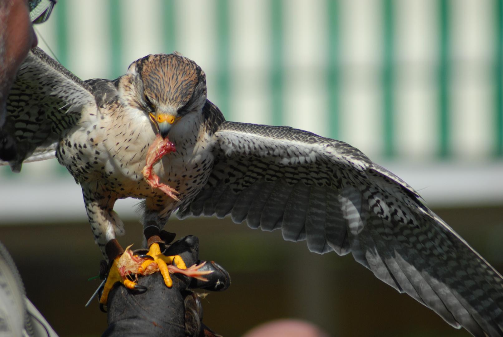 Eine Falke - Belohnung nach dem Einsatz