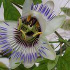 Eine fast offene Passionsblume