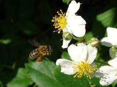 eine fleissige Biene