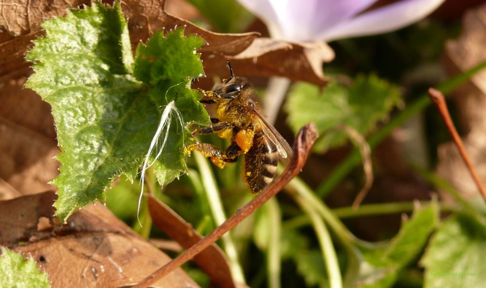 Eine fleißige Biene macht Pause