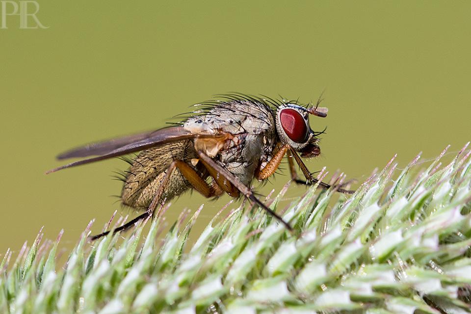 Eine Fliege als Model