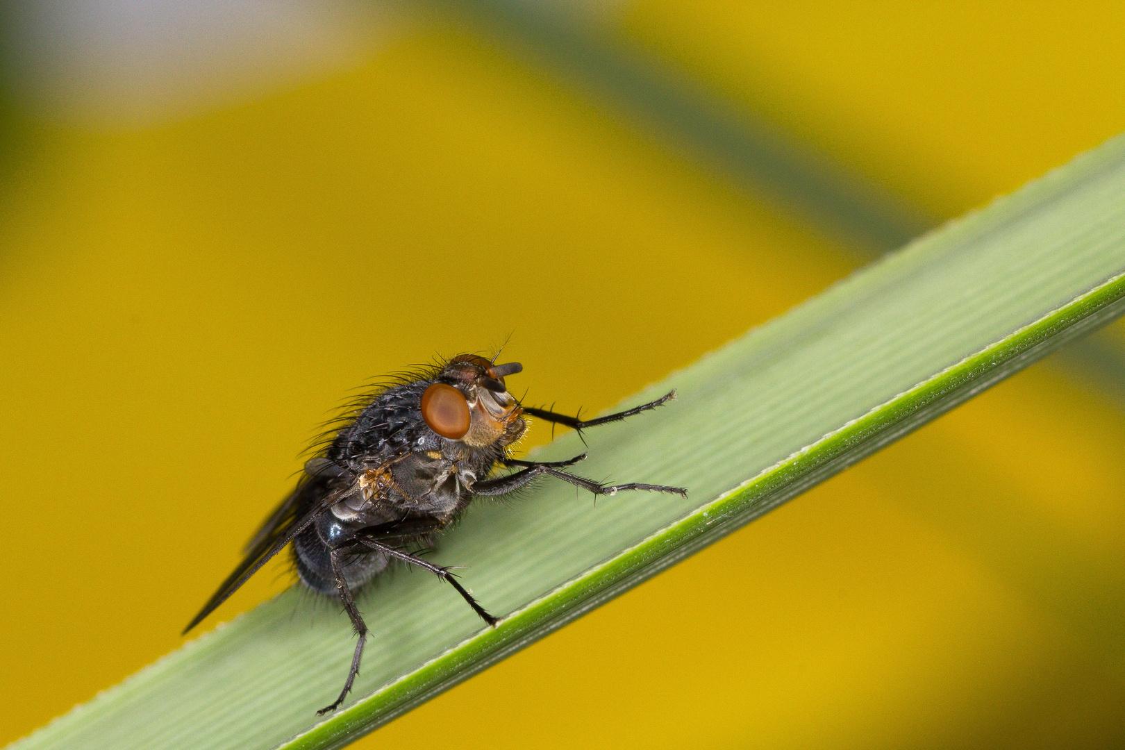 Eine Fliege, die hat es schön...(sonnig)