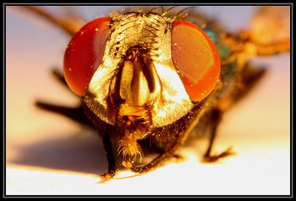 Eine Fliege mal genauer betrachtet.
