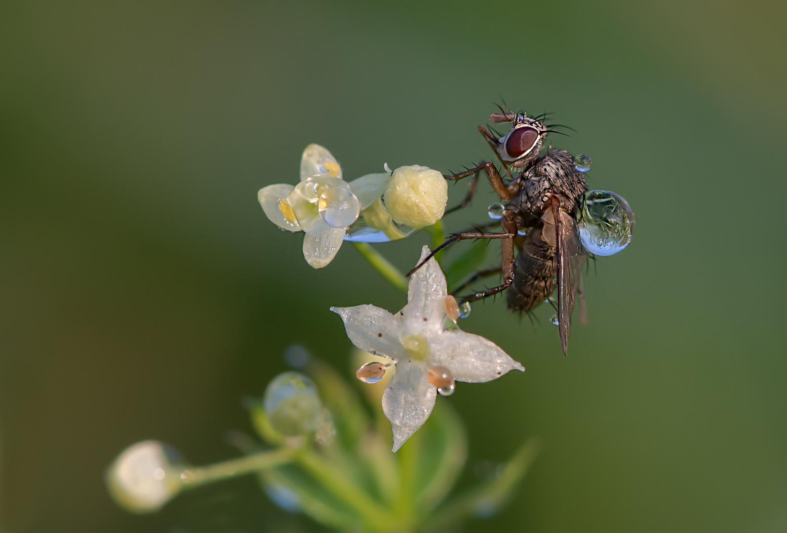 Eine Fliege mit Tröpfchen
