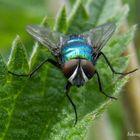 Eine Fliege schaut fotogen in meine Kamera.