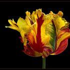 Eine fotografische Erinnerung an die schöne Tulpenzeit