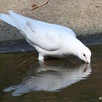 Eine Friedens Taube