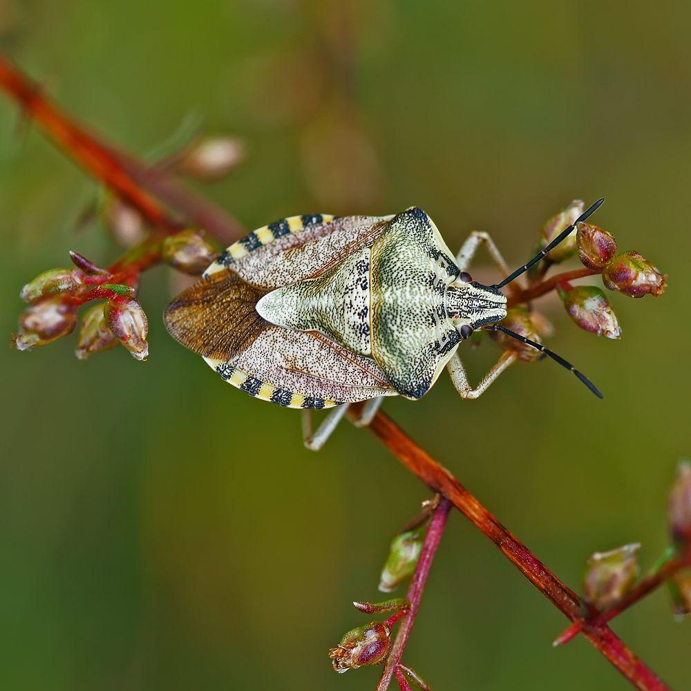 Eine Fruchtwanzen-Art: Carpocoris purpureipennis oder Carpocoris pudicus *