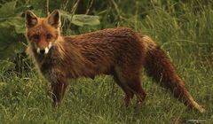Eine Fuchs-Fehe in unserem Garten