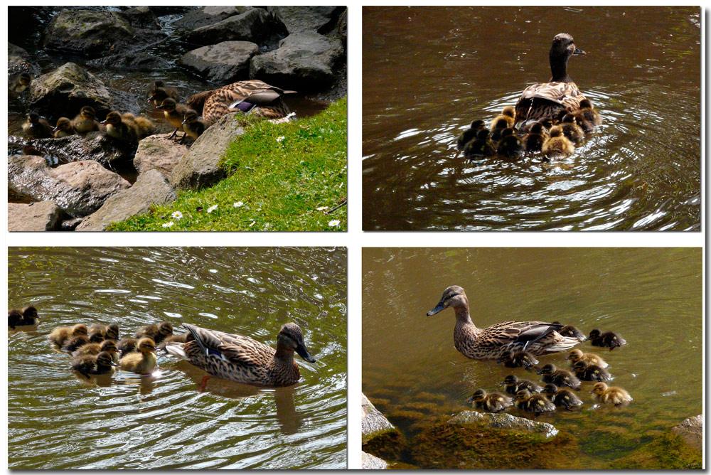 Eine fürsorgliche Entenmama mit ihren Jungen