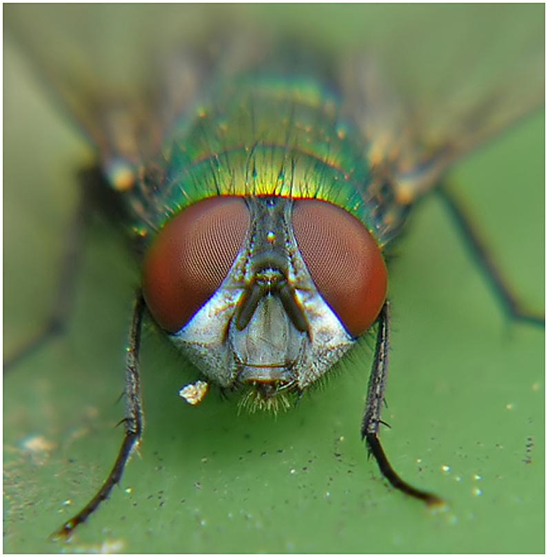 Eine ganz normale Fliege