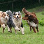 eine ganze Bande Shepherds!