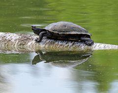 Eine Gelbbauch-Schmuckschildkröte zum Spiegeltag