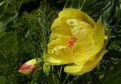 Eine gelbe, leuchtende Päonie