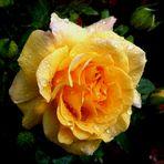 Eine gelbe Rose für diesen neuen Tag