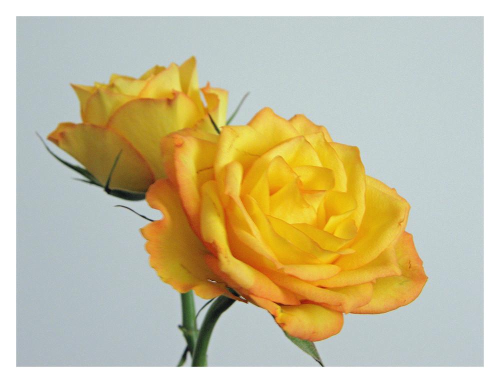 Eine gelbe schönheit - hat bis jetzt den valentinstag überlebt!!