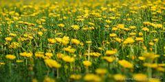 eine gelbe Wiese