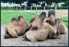 Eine gemütliche Kamelrunde