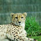 Eine Gepardendame