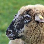 eine Geschichte von Schafen