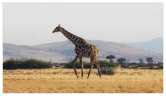 Eine Giraffe! Schnell ein Foto....  Klick!