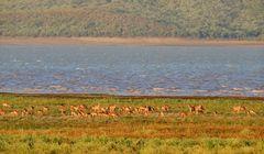 Eine große Gruppe weiblicher Impala Antilopen
