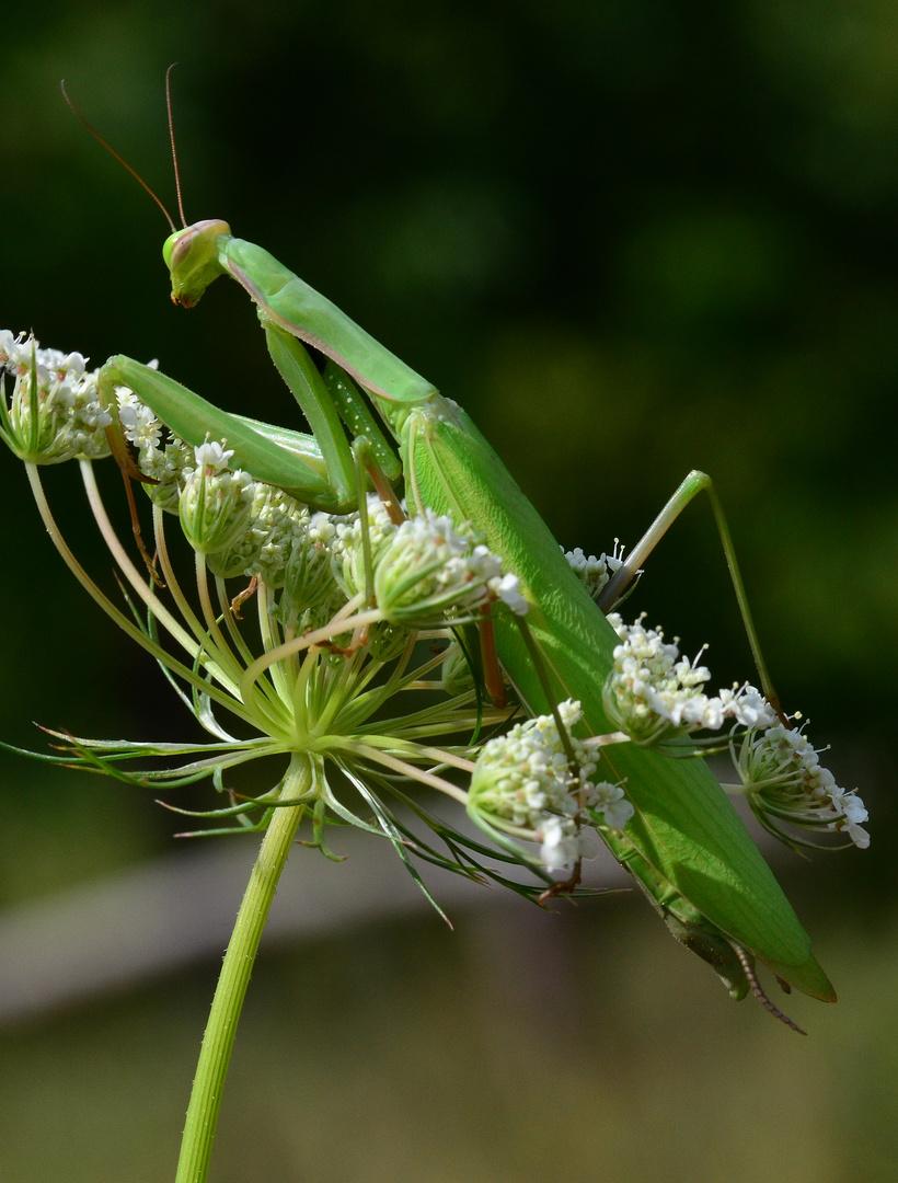 Eine grüne Mantis religiosa....