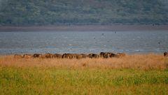 Eine Gruppe Büffel