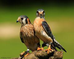Eine Hand voll Falken