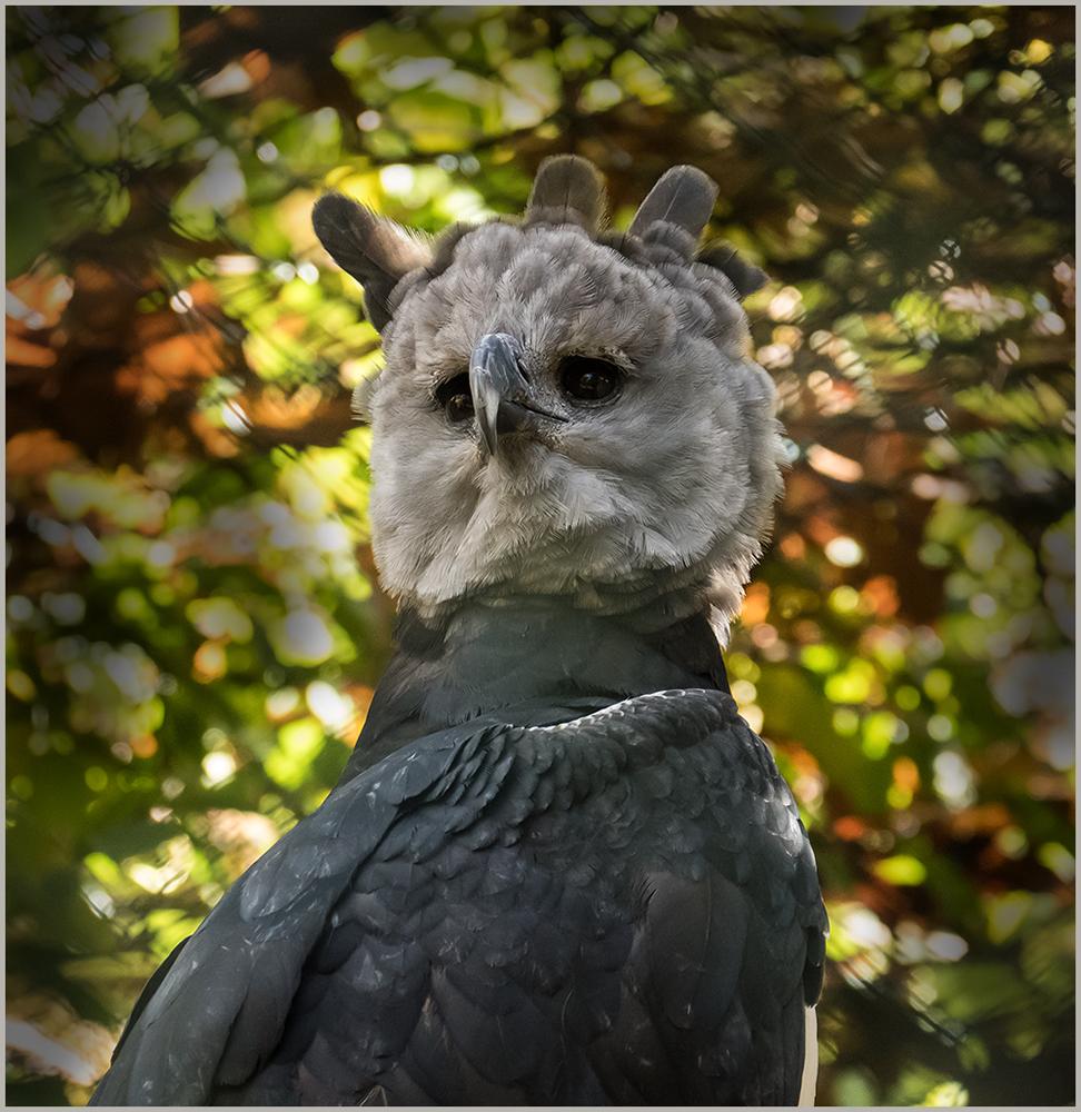 Harpie Vogel