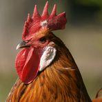 Eine Henne pfeifft wohl auf ihn...