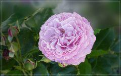 Eine herrliche Rose