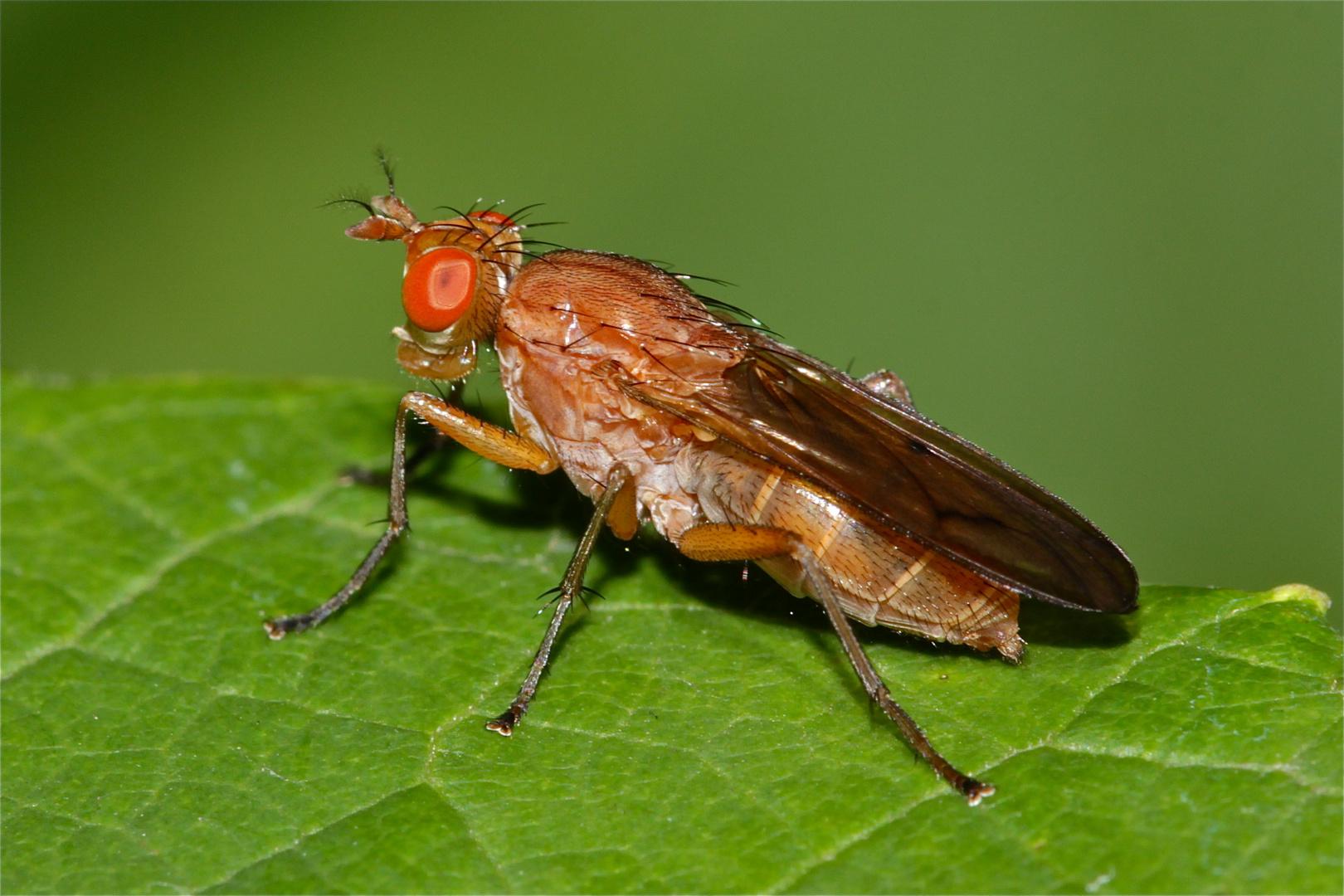Eine Hornfliege (Fam. Sciomyzidae): Weibchen einer Tetanocera-Art