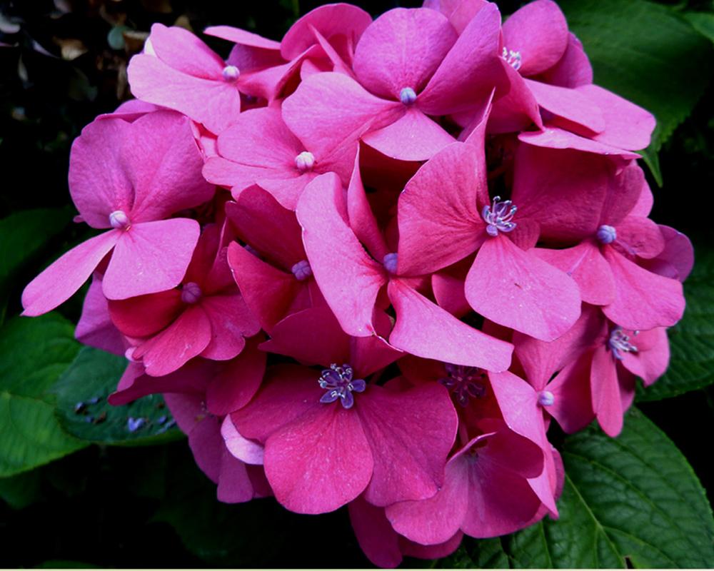Eine Hortensienblüte strahlte noch
