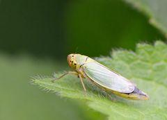 Eine hübsche kleine Zikade