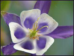 Eine in weiss und lila