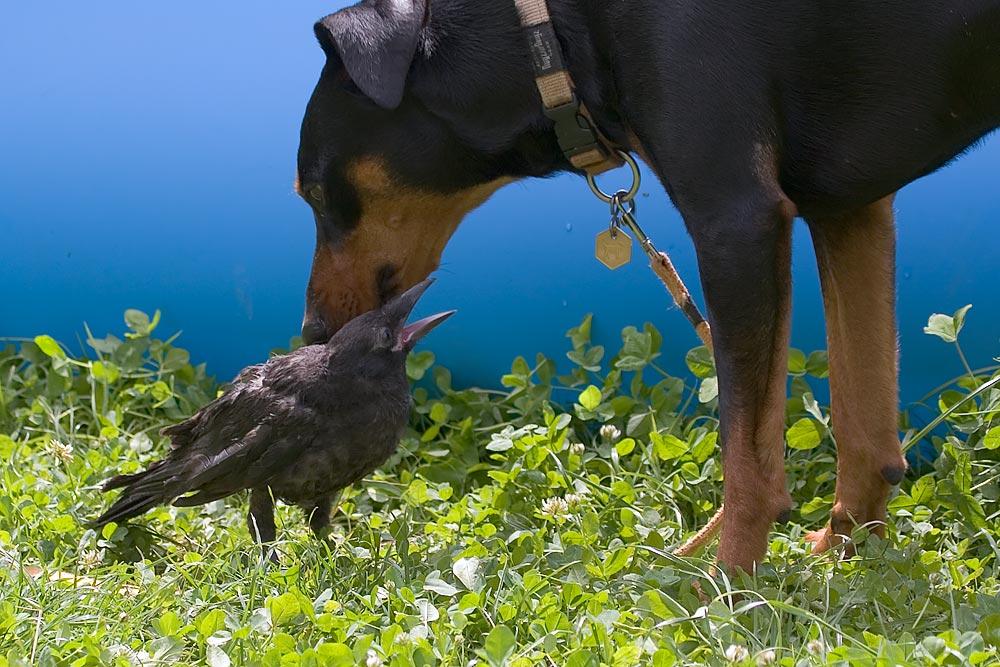 """Eine junge Krähe und ihre """"Mutter"""""""