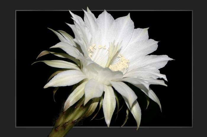 Eine Kaktusblüte ...