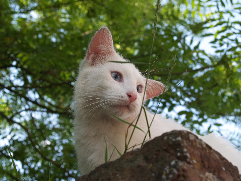 Eine Katze im Franz. Belgiën