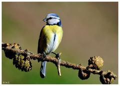 ---- Eine kleine Blaumeise ---- ( Parus caeruleus )