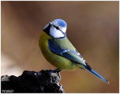 Eine kleine Blaumeise - ( Parus caeruleus )